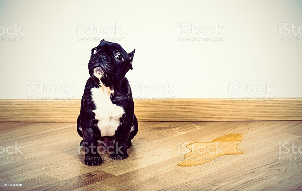 Puppy Frence Bulldog made a pee on parquet floor stock photo