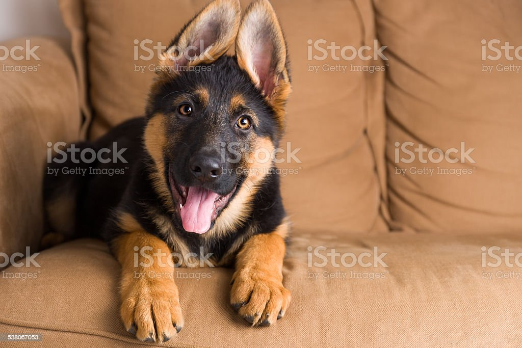 Puppy german shepherd dog sitting in sofa stock photo