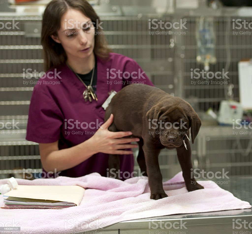 puppy getting his vaccinations stock photo
