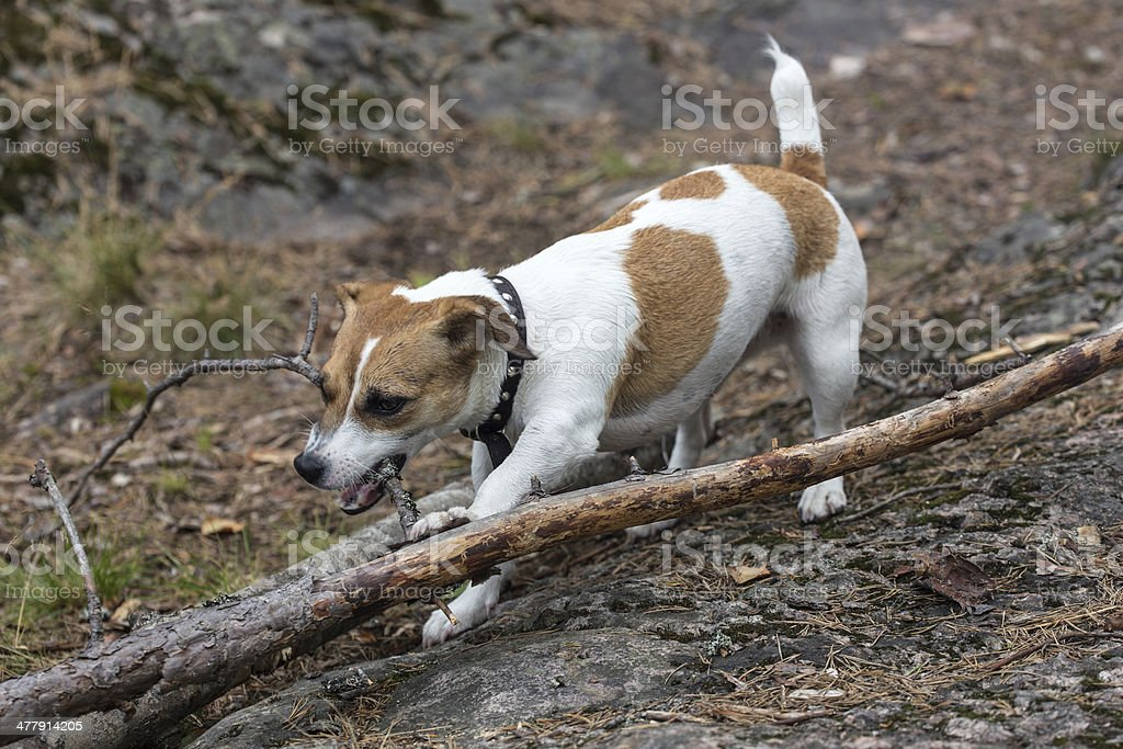 puppy gnaws a tree branch royalty-free stock photo
