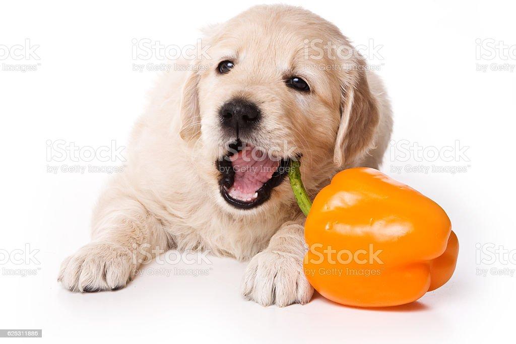 Puppy golden retriever dog (isolated on white) stock photo