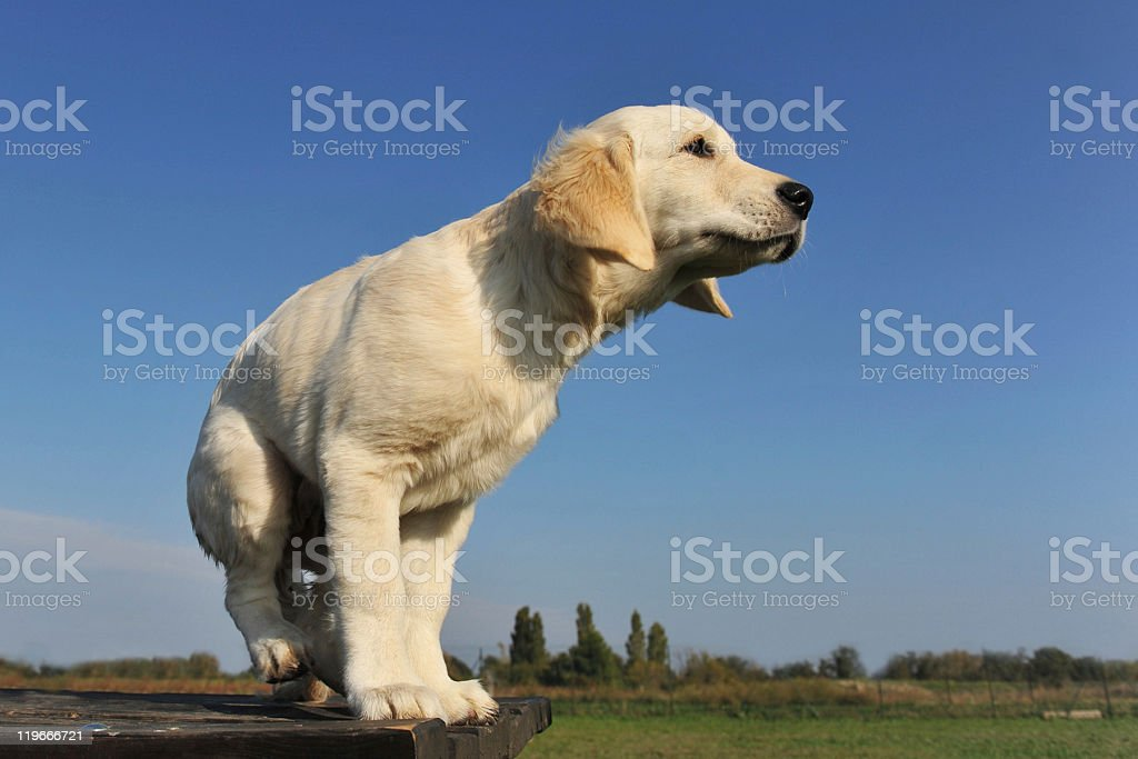 puppy golden retriever stock photo