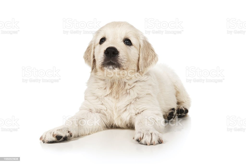 Puppy golden retriever royalty-free stock photo