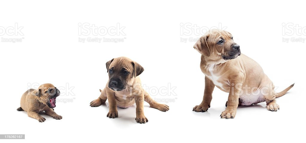 Puppy Growing stock photo