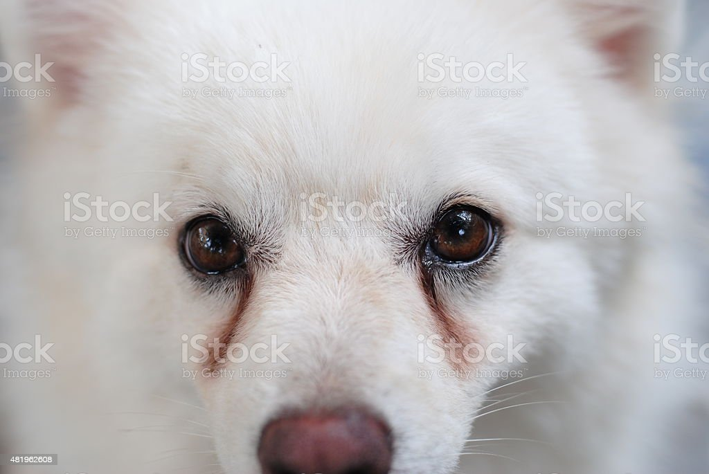 Puppy having tear stains on its eyes stock photo