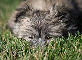 Puppy hiding in grass