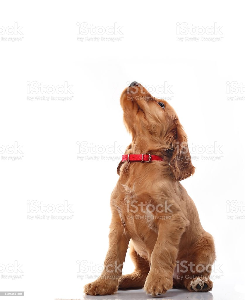 Puppy howling stock photo