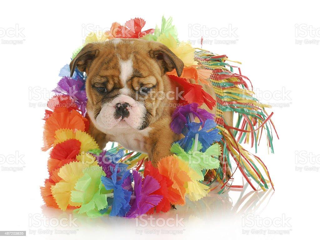 puppy hula dancer stock photo