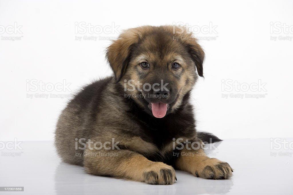 Puppy Husky mix stock photo