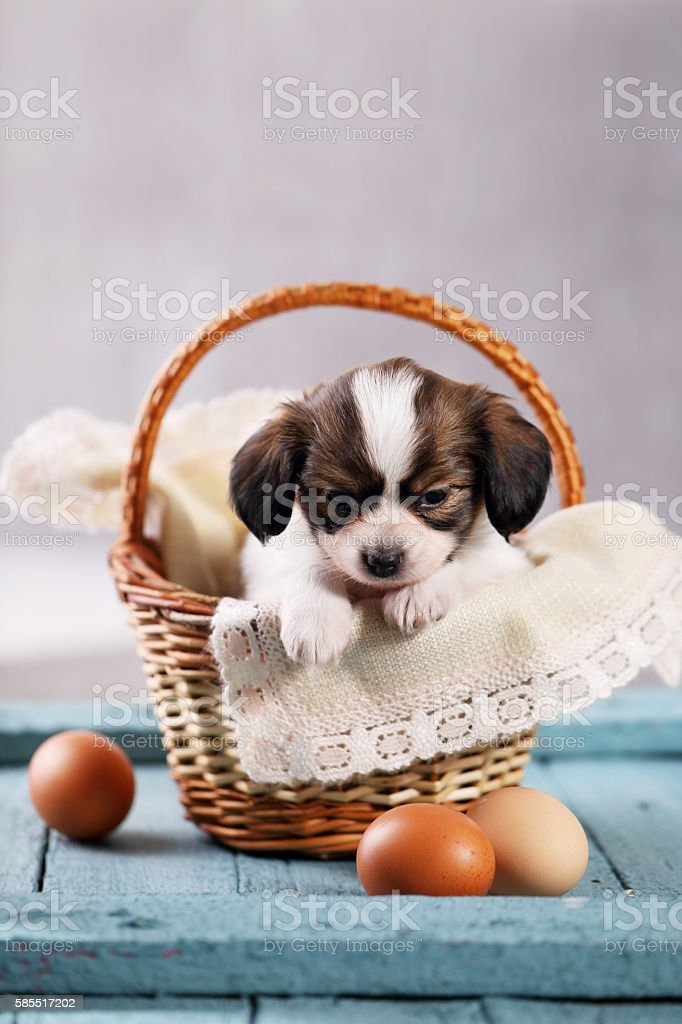 puppy in a basket with eggs stock photo