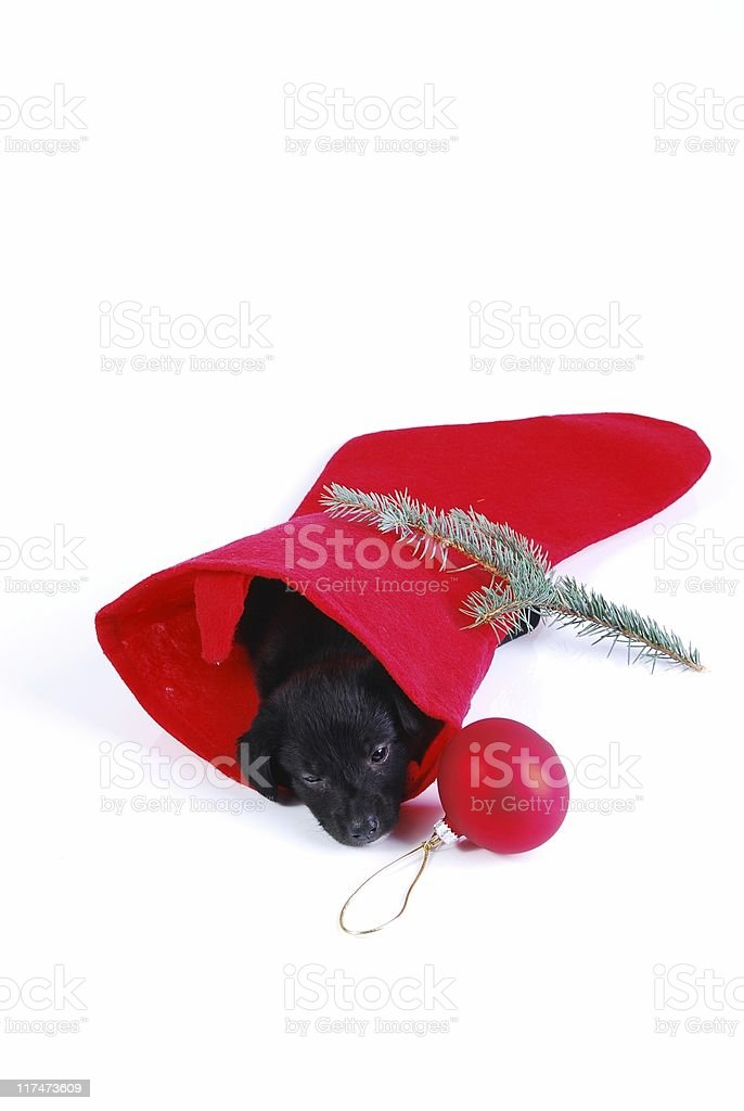 Puppy in a Christmas stocking royalty-free stock photo