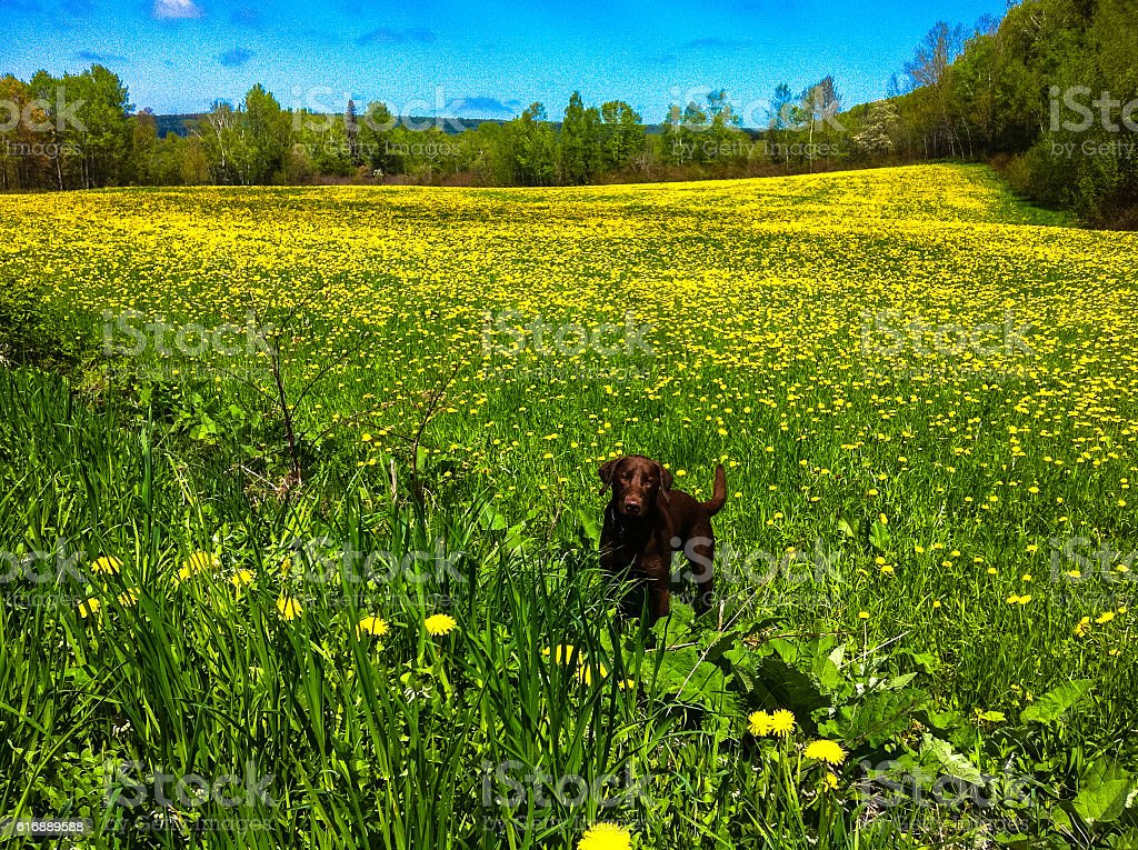 Puppy in a field of yellow dandelion royalty-free stock photo