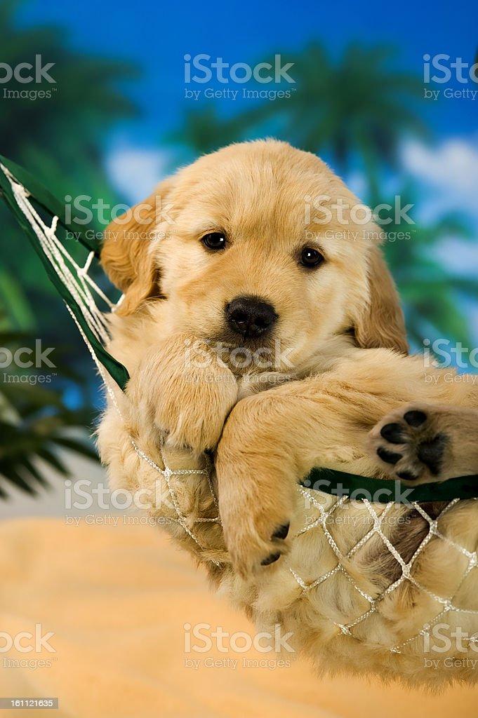 Puppy in a hammock stock photo