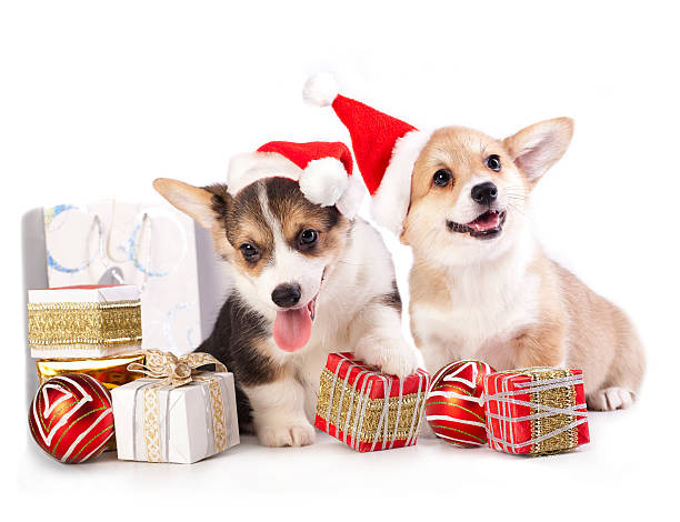 puppy in a santa hat stock photo - Corgi Christmas