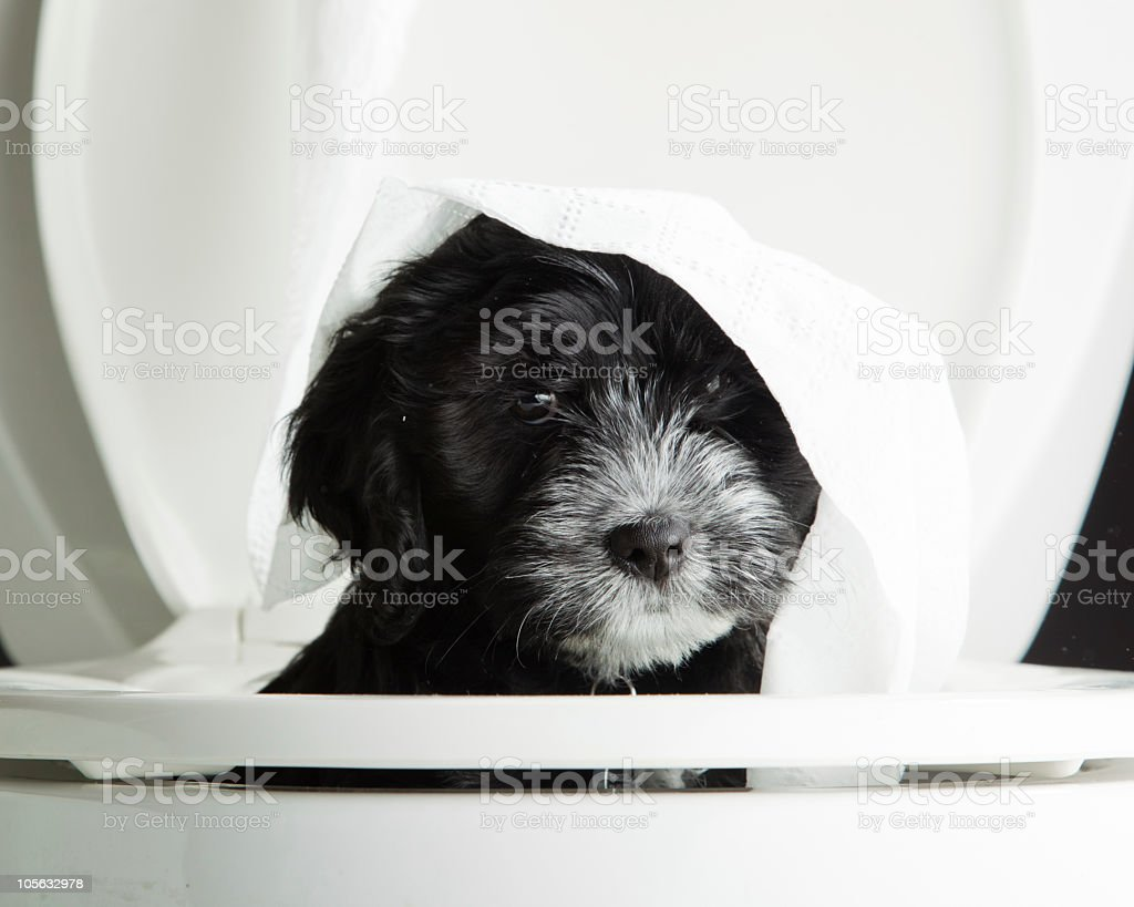 Puppy in a Toilet stock photo