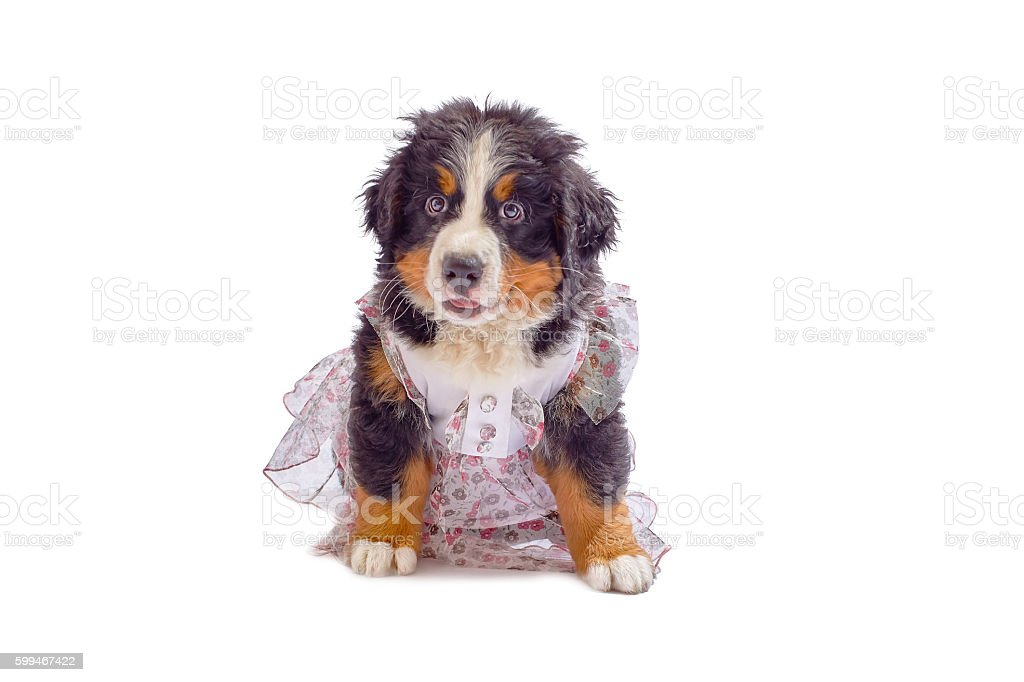 puppy in dress stock photo