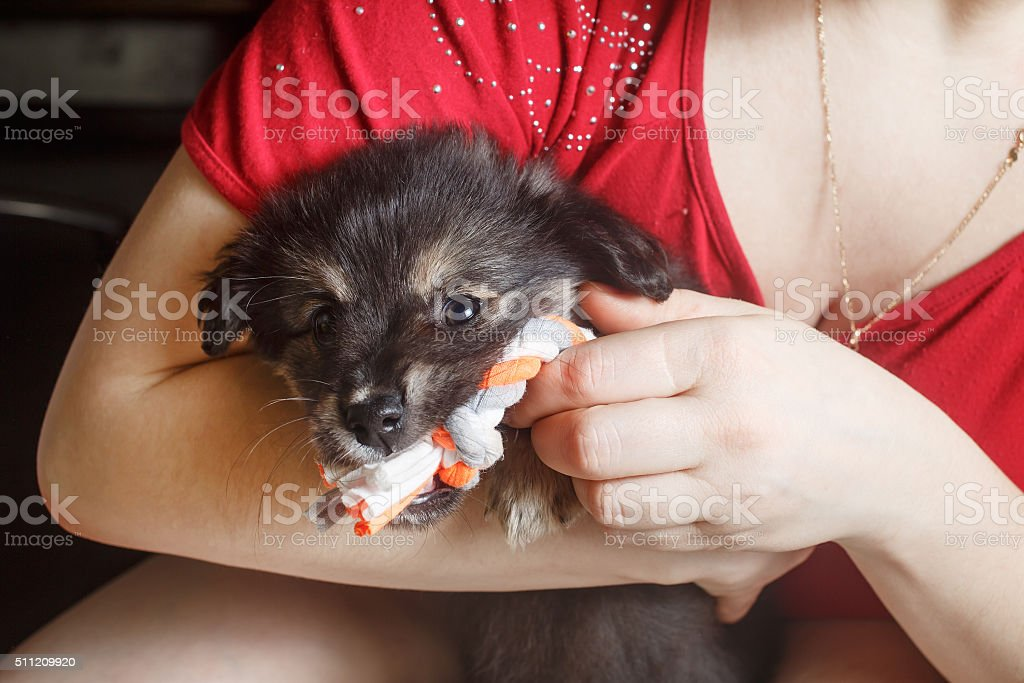 Puppy in female hands stock photo