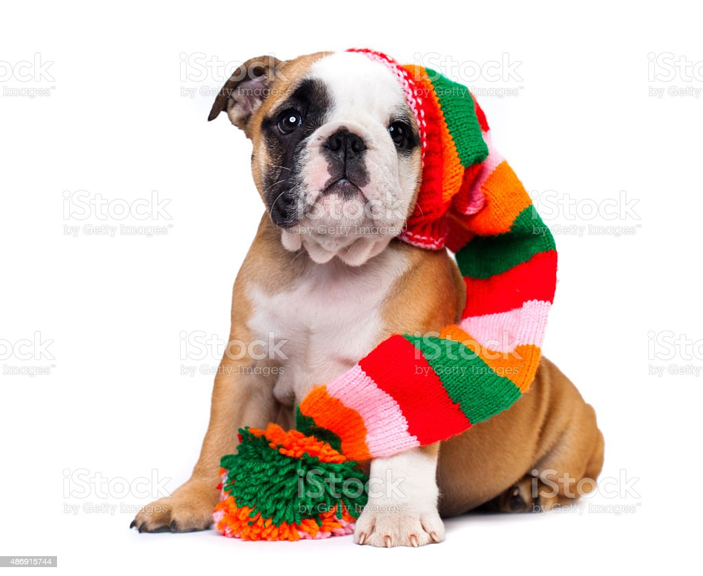 puppy in  hat stock photo