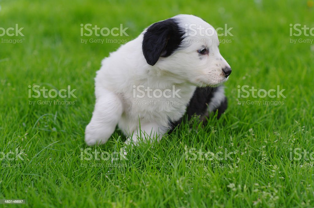 Puppy in meadow stock photo