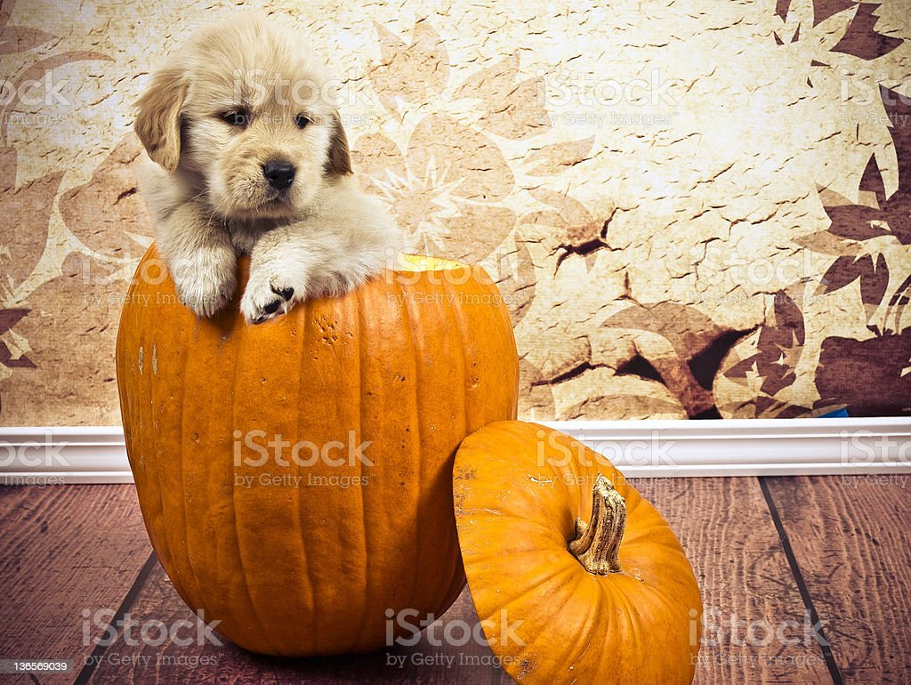 Puppy in pumpkin royalty-free stock photo