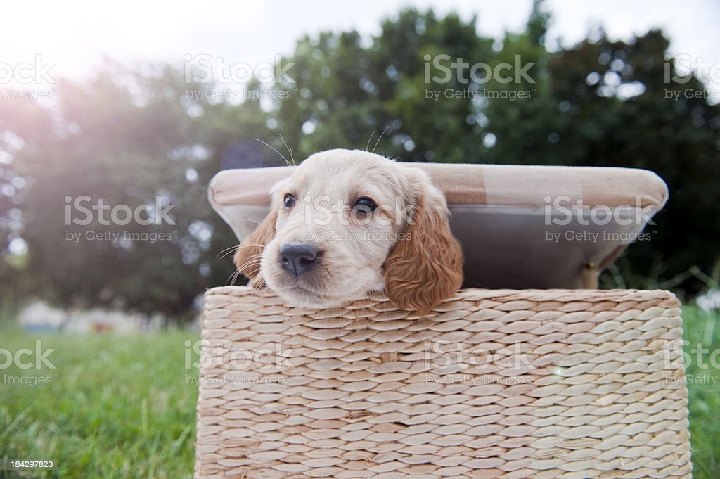 Puppy in the box stock photo
