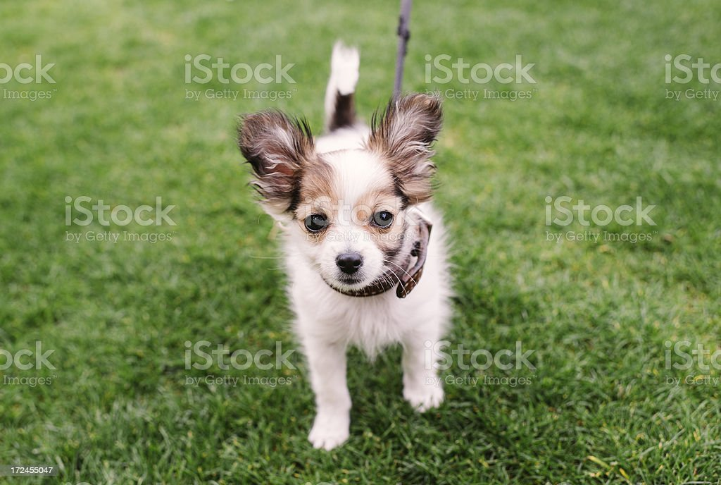 Puppy in the grass royalty-free stock photo