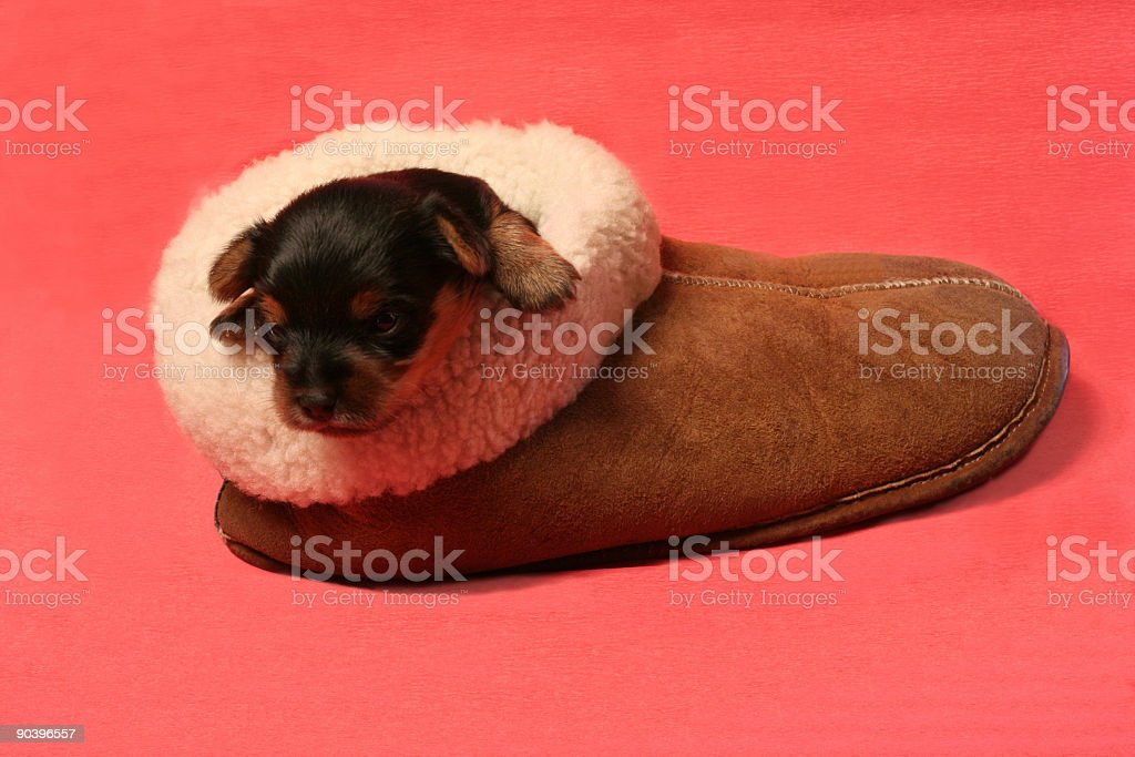 puppy in the slipper royalty-free stock photo