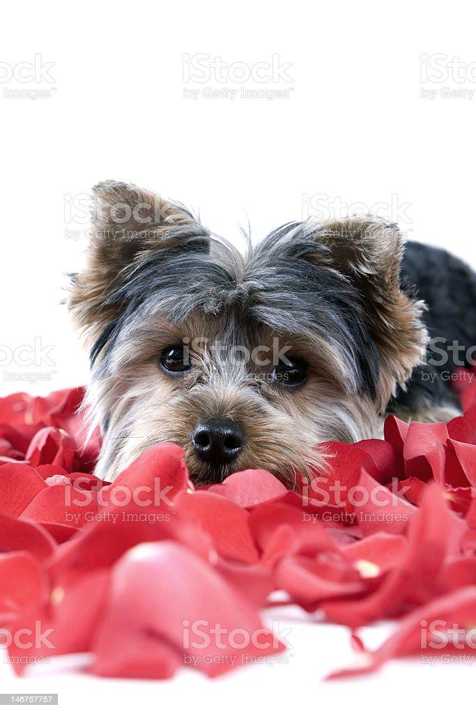 Cachorro es pétalos de rosa foto de stock libre de derechos