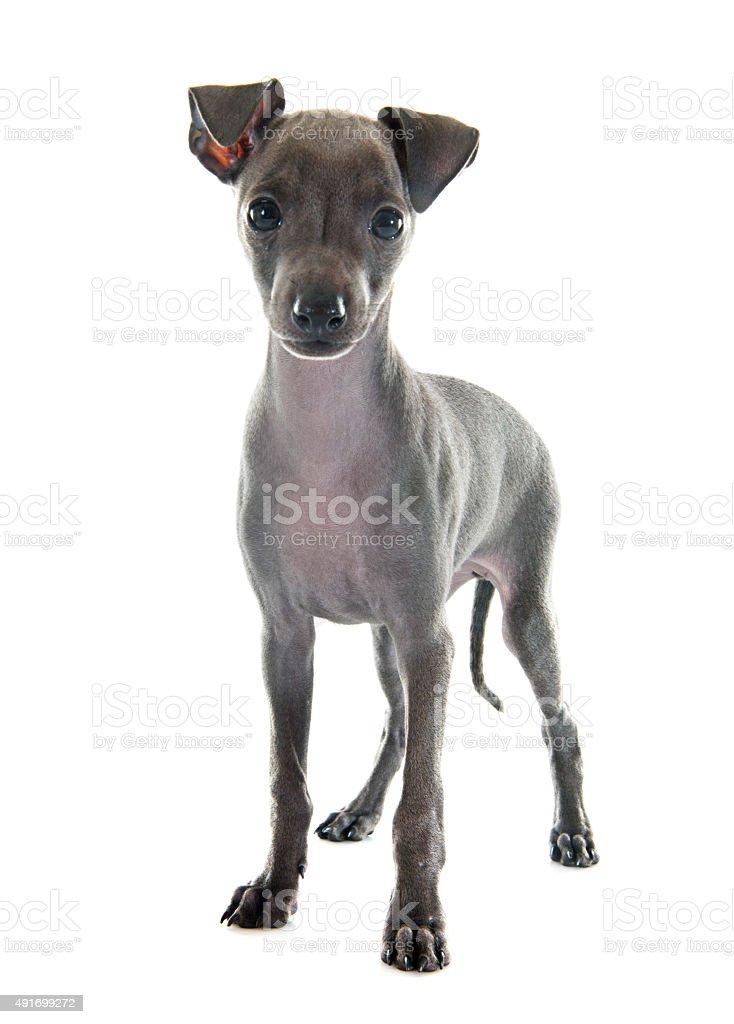 puppy italian greyhound stock photo