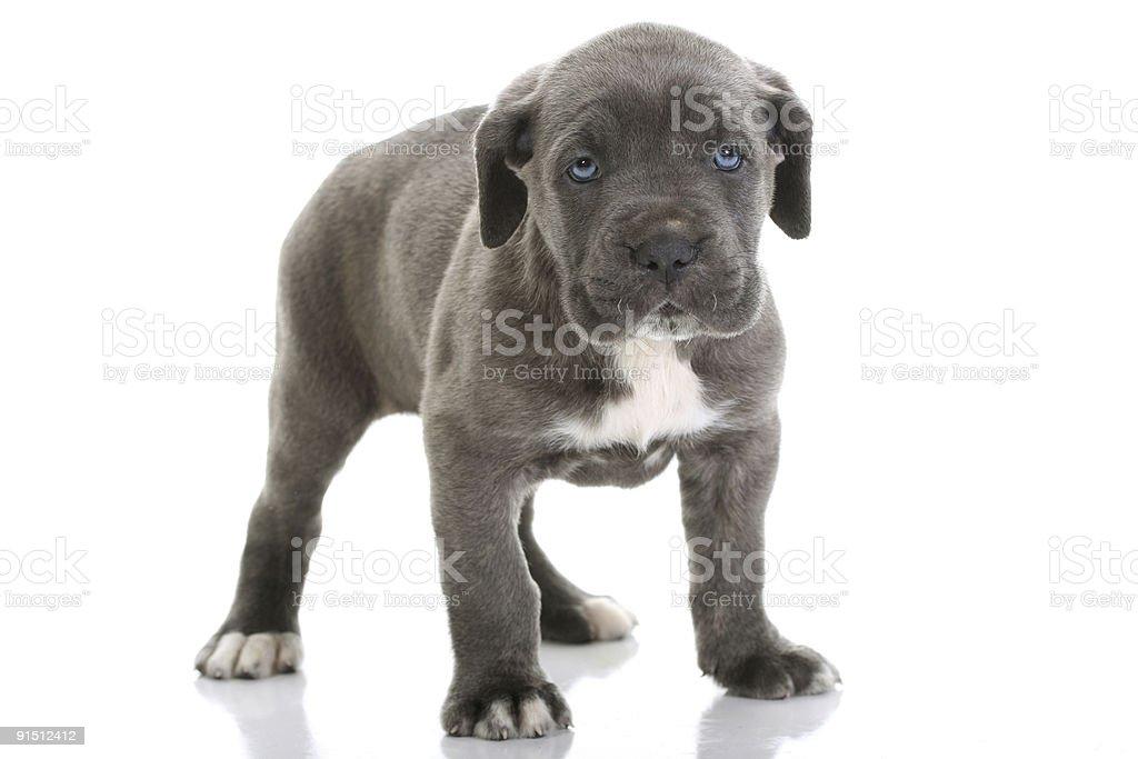 puppy italian mastiff cane corso with blue eyes royalty-free stock photo