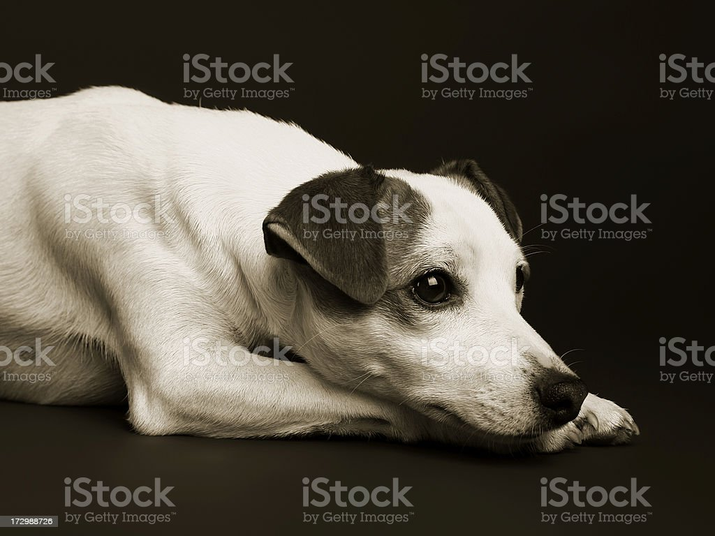 Puppy Jack Rusell Terrier Lying and waiting stock photo