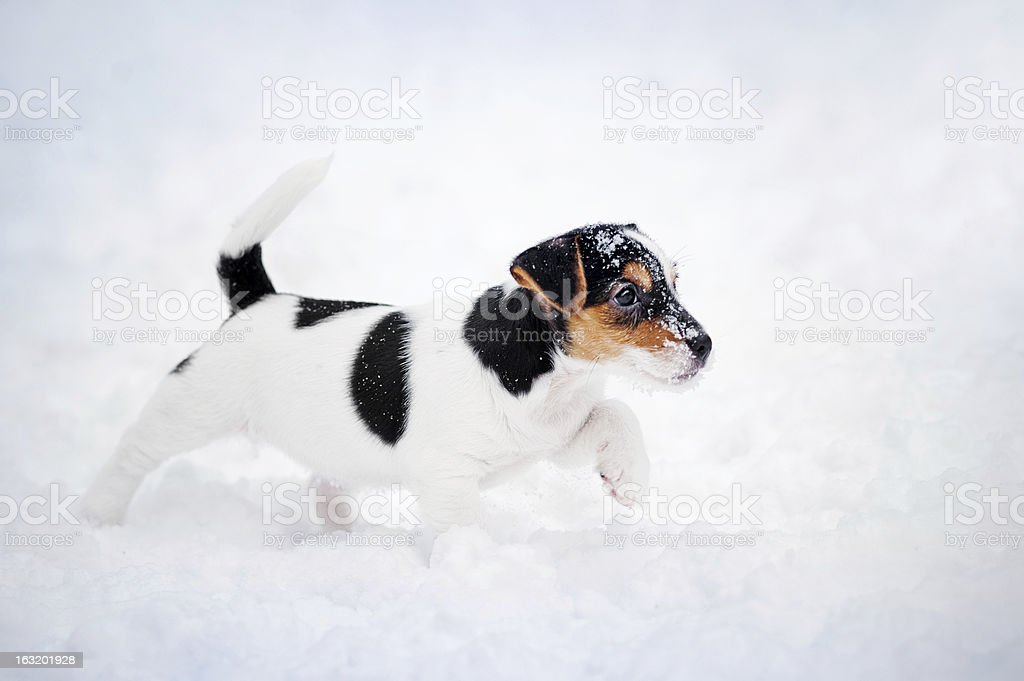 puppy Jack russel terrier playing in winter royalty-free stock photo