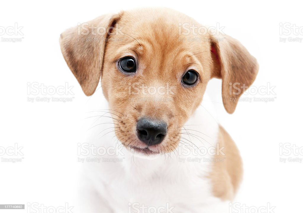 Puppy Jack Russell royalty-free stock photo