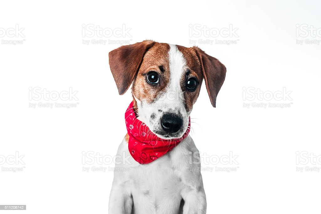 Puppy Jack Russell terrier in a red bandana stock photo