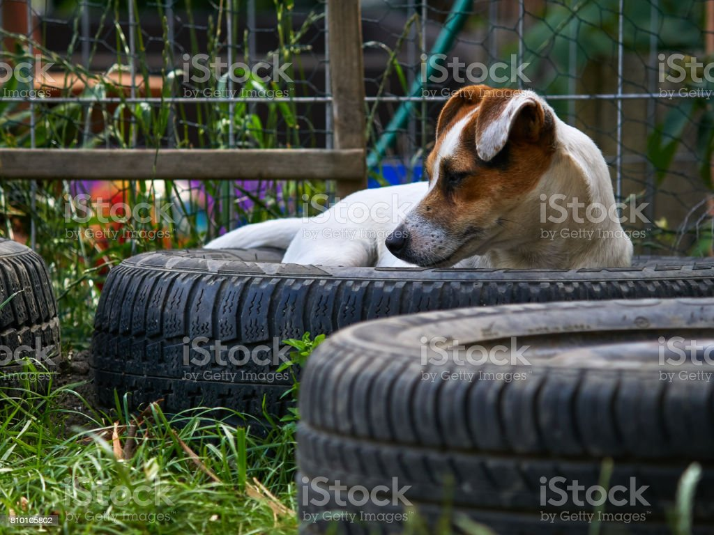 Puppy Jack russell terrier is playing in the garden on the grass with another JRT. stock photo