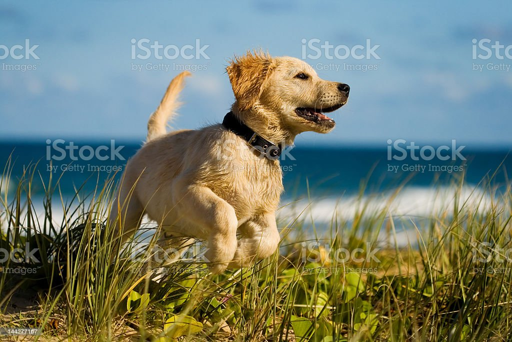 Puppy jumping on the beach stock photo