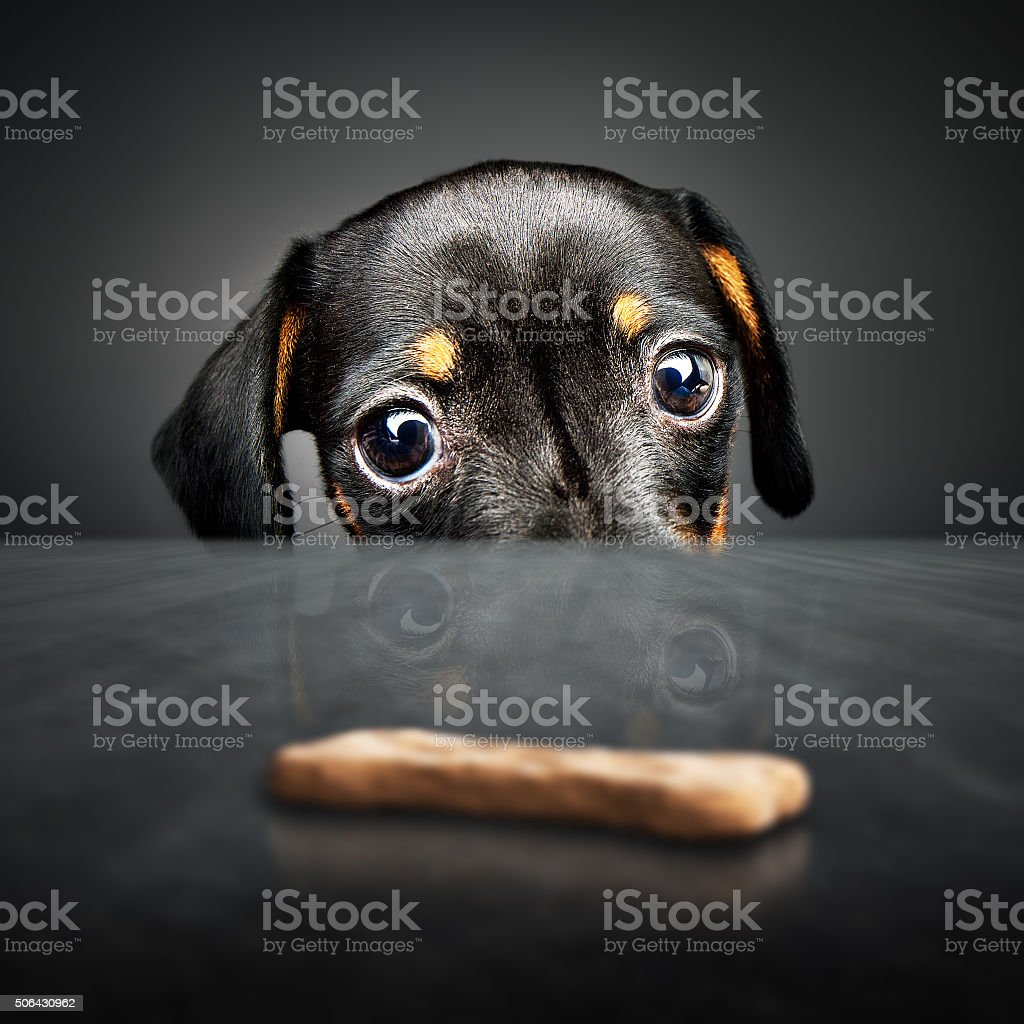 Puppy longing for a treat stock photo