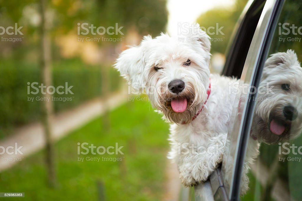 puppy looking out the car window stock photo