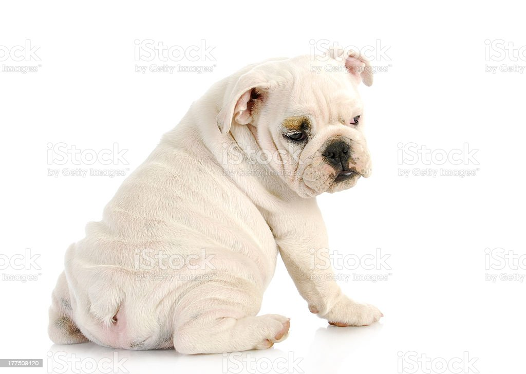 puppy looking over shoulder royalty-free stock photo