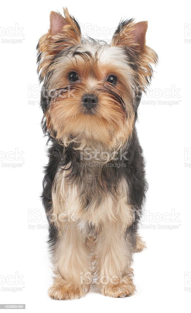 Puppy looks into the camera royalty-free stock photo