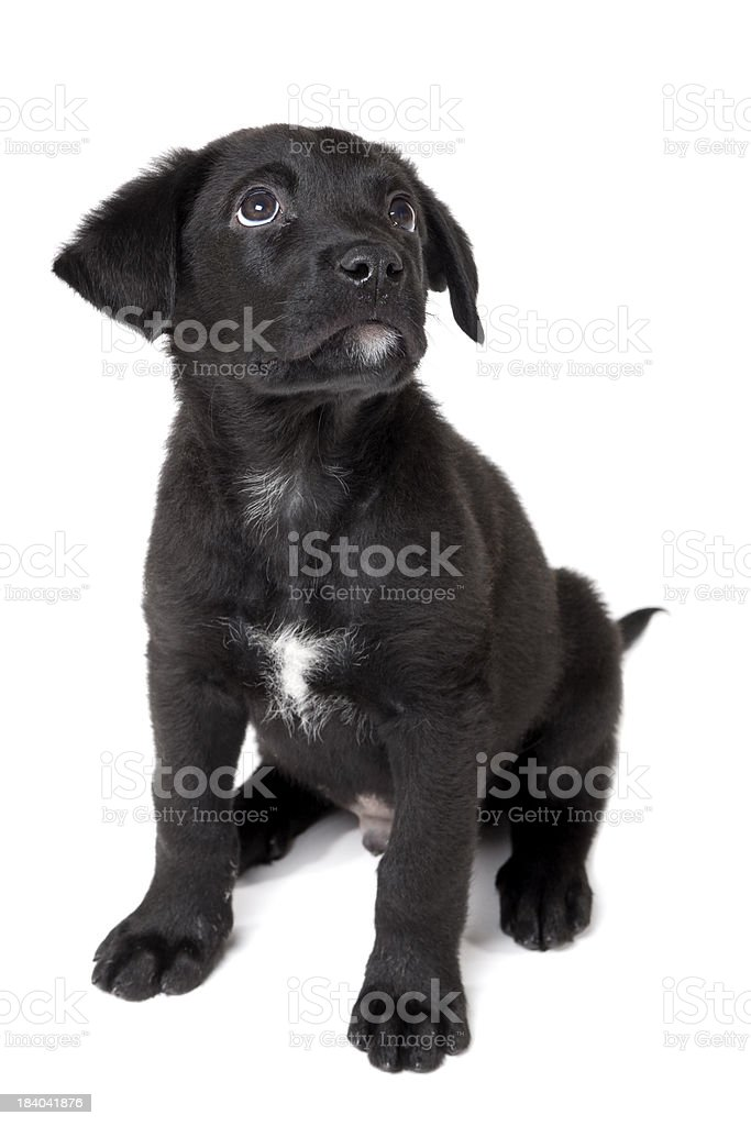 Puppy Looks Up royalty-free stock photo