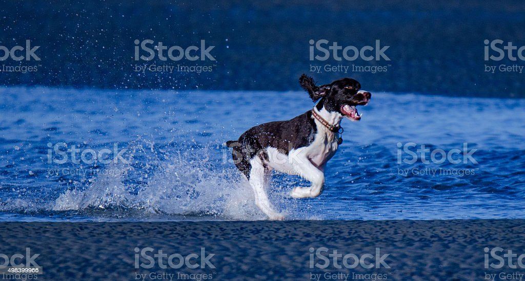 Puppy loving the water at Myrtle Beach, SC. stock photo