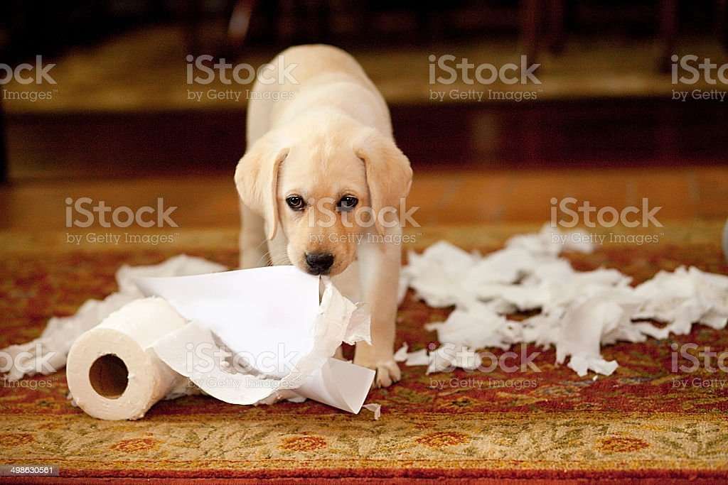 Puppy Mess stock photo
