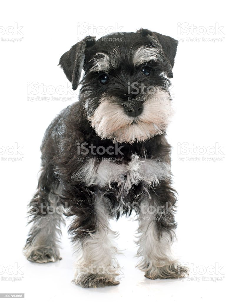 puppy miniature schnauzer stock photo