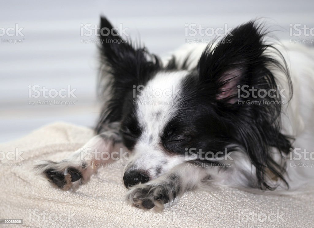 Puppy Nap stock photo