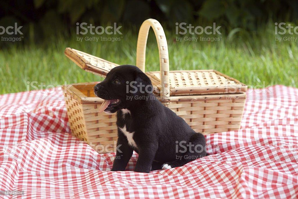 Puppy Next to Basket royalty-free stock photo