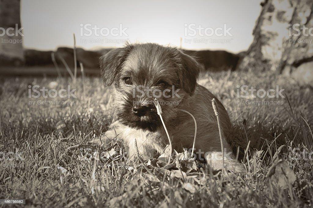 Puppy Norfolk terrier stock photo