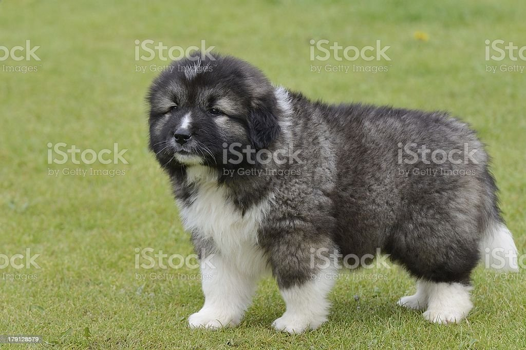 puppy of Caucasian Shepherd royalty-free stock photo