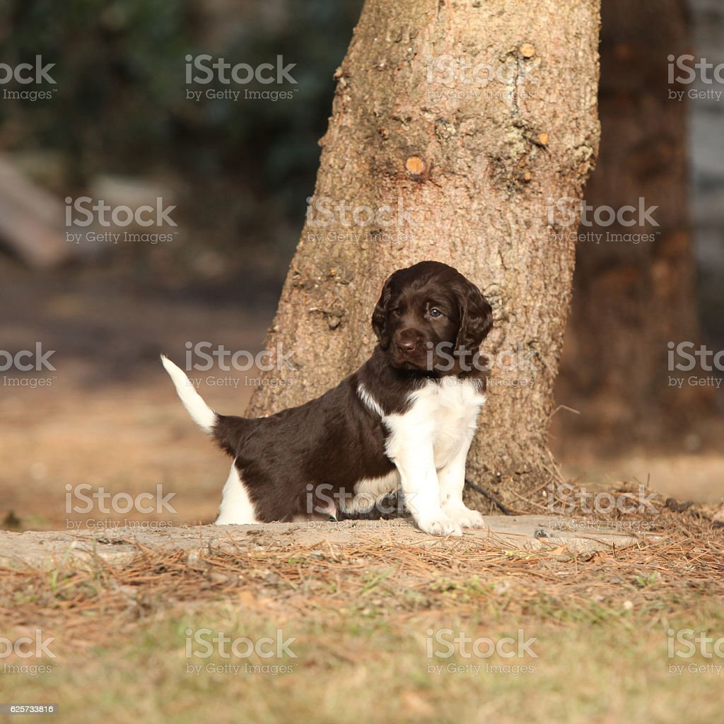 Puppy of Small Munsterlander stock photo