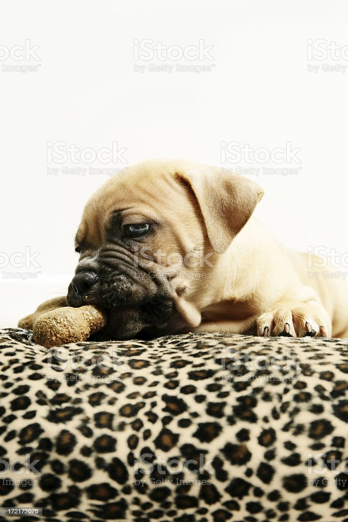 Puppy on a cushion royalty-free stock photo